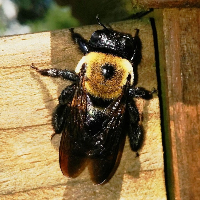 Carpenter Bee Control Dave S Garden