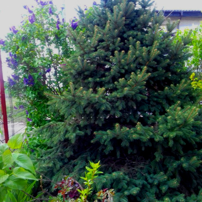 My silver fir and the blooming purple lilac next to it were looking healthy before the scales attack