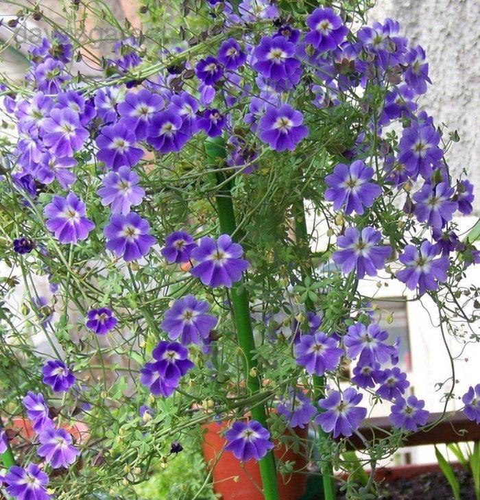 purple climbing nasturtiums