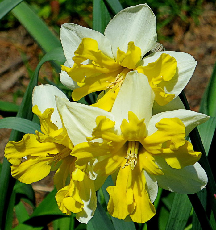 white and gold daffodils