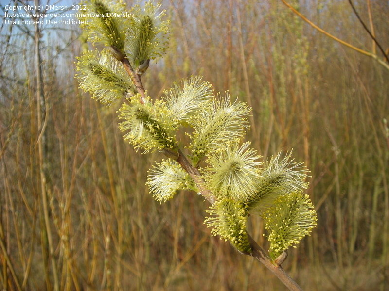 bloomed out pussy willow