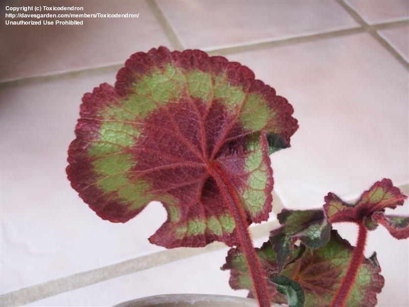 Rex begonia plantfiles