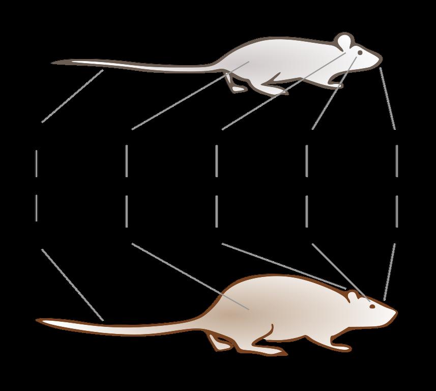 description of a rat