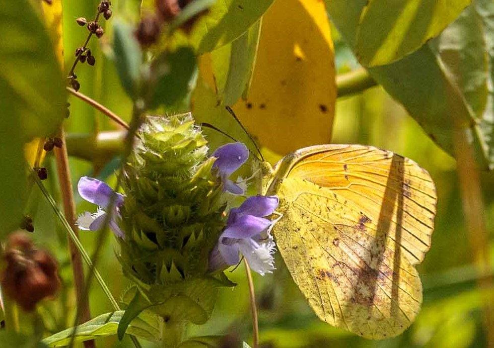 clouded sulphur butterfly on prunella vulgaris