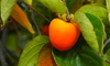 A persimmon ripens just as leaves begin to turn color in autumn.
