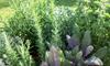 A close-up of an herb garden.