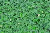 A close-up of green clover.