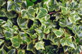 A thick growth of English ivy.