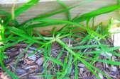 Sprigs of green crabgrass grow up through wood mulch.