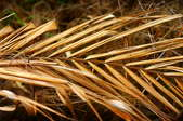 Dead dry palm frond.