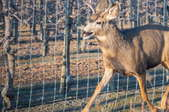 deer running by fence next to orchard trees