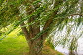 willow tree blowing in the wind
