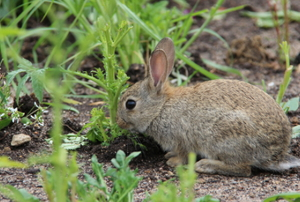 A small wild rabbit eating garden plants.