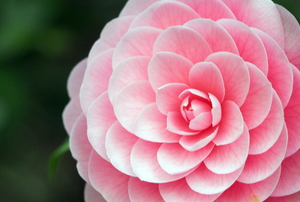 pink camellia blossom with beautiful petals
