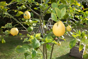 A lemon tree.