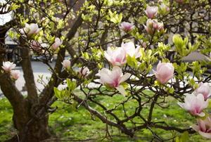 A magnolia tree.