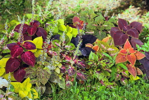 group of coleus plants