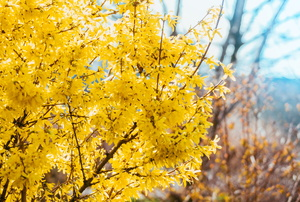 A yellow forsythia.