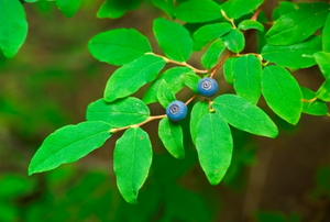 A branch with two wild blue huckleberries.