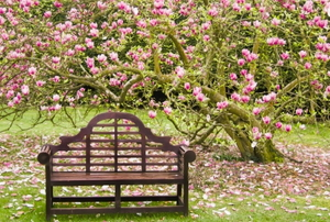 A bench set under a tree with pink blooms on its branches.