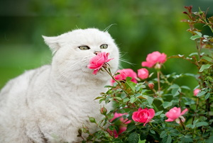 a white cat sniffing a pink flower on a green bush