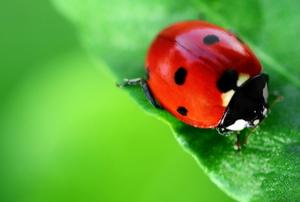 A ladybug crawls on a leaf.