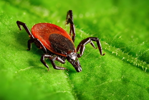 A red tick crawls on a leaf.