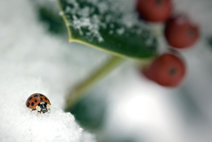 ladybug on a holly plant in snow