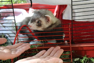ferret in a red cage