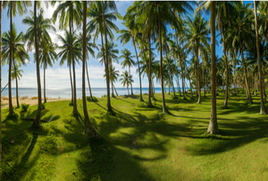 grass in warm sunlight under a forest of coconut trees