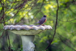 A small bird perches on the edge of a concrete birdbath.