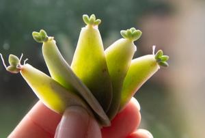 propagating succulent