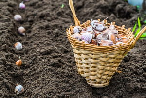 A basket of garlic cloves with a row of them in soil.