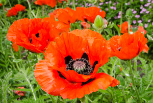 orange poppy flowers in a field