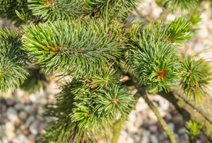branch of Norway spruce tree
