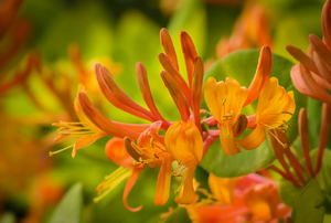 Orange-yellow honeysuckle flowers