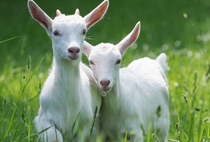 two beautiful young goats close together in a grassy field