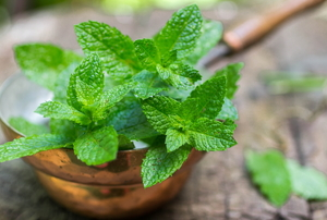 leaves of lemon balm