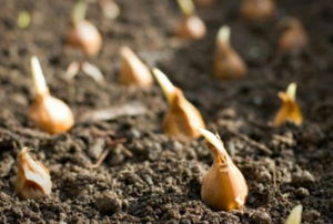 Rows of flower bulbs sitting in soil ready to be planted.