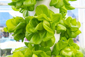 lettuce in a vertical indoor tower garden