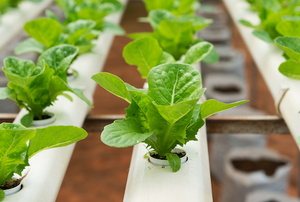 8 Dangers of Gardening with Hydroponics