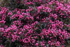 Weigela plant