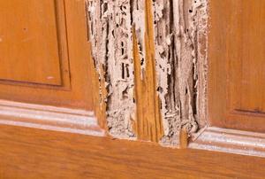 Termite damage on wood.
