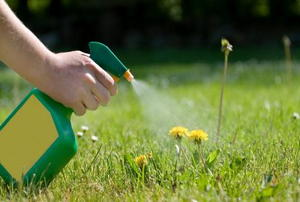 A weed killer being sprayed on dandelions.