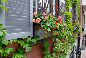 Bright flowers grow in a window box while ivies climb the brick walls outside.