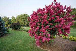 Crepe Myrtle Blooming