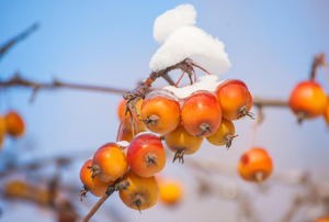 Some snow sitting on top of red and orange fruit on a tree.