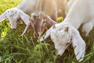three goats eating long grass together