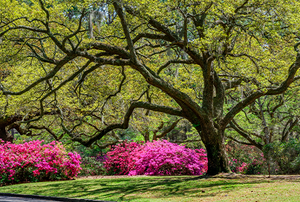 Georgia winter garden with flowering shrubs and a large tree
