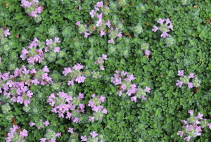 creeping thyme groundcover with light purple flowers